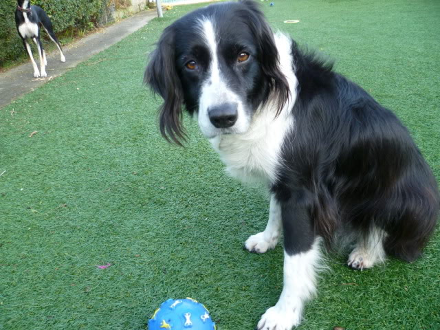 Ffion - 11 year old Border Collie cross Springer Spaniel -Good with dogs, kids + cats P1010599