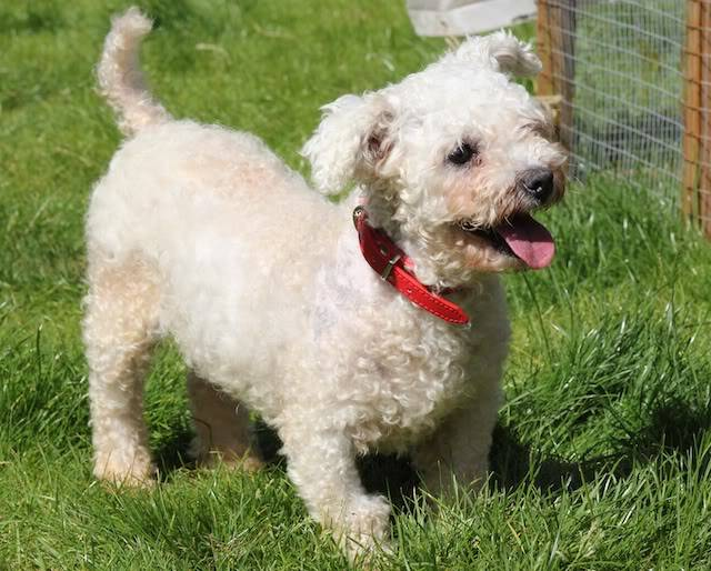 Freda - 4 year old Bichon Frise - Fostered in Somerset TickTick4