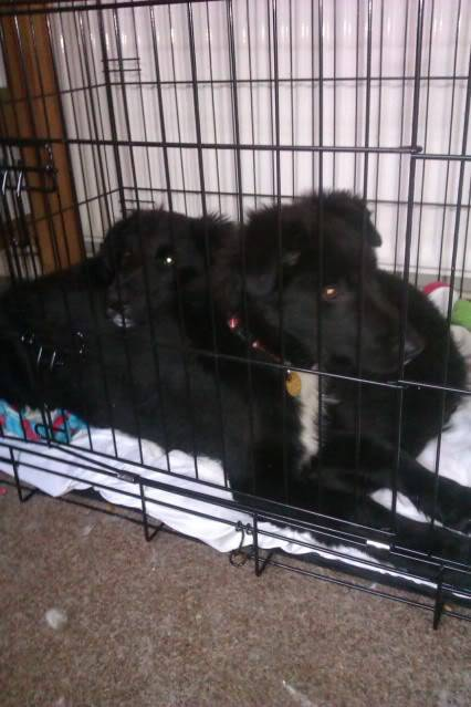 Emrys - 3 month old Border Collie boy (Fostered in Cheshire) Back
