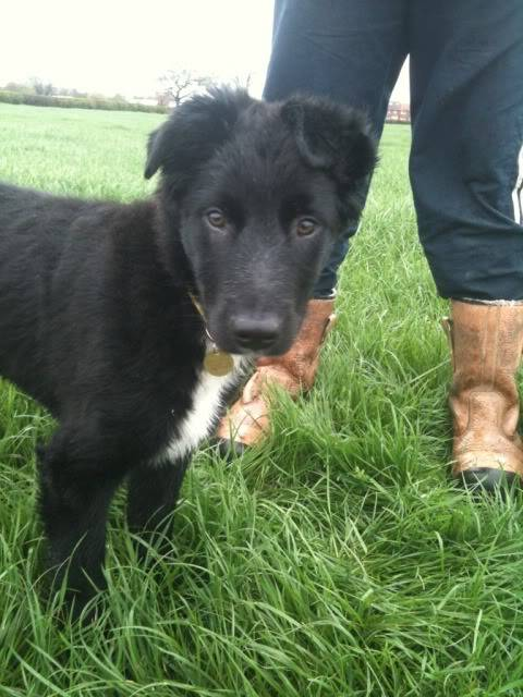 Emrys - 3 month old Border Collie boy (Fostered in Cheshire) C9701204