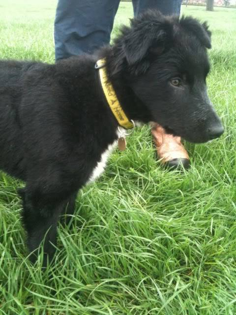 Emrys - 3 month old Border Collie boy (Fostered in Cheshire) Cb329e1f