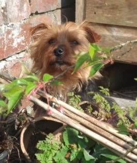 Indie - 4 year old Yorkshire Terrier girl - dog and older child friendly 006