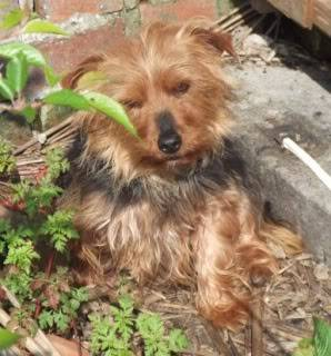 Indie - 4 year old Yorkshire Terrier girl - dog and older child friendly 009