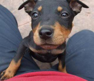 Hettie - 11 week old SBT cross - good with kids, cats and dogs - home across UK 024