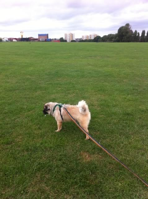 Heston - 2 year old Pug cross Tibetan Terrier - Page 2 0AB1E648-2B19-4B52-9373-4A80A4CDB129-6972-000006C674B0B148