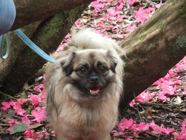 Heston - 2 year old Pug cross Tibetan Terrier 575662_476258699055782_976298839_n