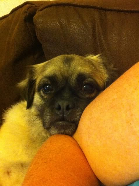 Heston - 2 year old Pug cross Tibetan Terrier - Page 2 6489F3F1-B680-417C-A2E6-18554B010291-5621-000004E24D1D1EF3