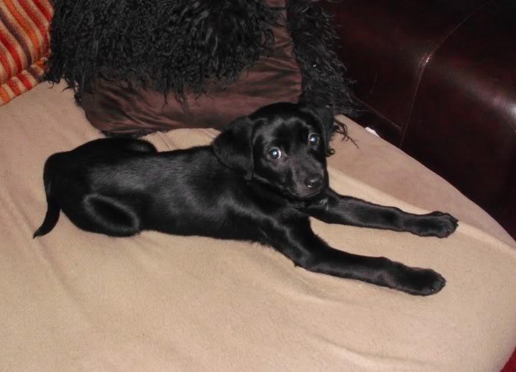 Holly - 10 week old Labrador cross DSCI0391