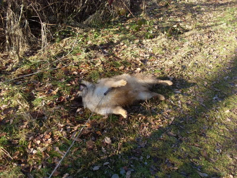 Heston - 2 year old Pug cross Tibetan Terrier Dogs077