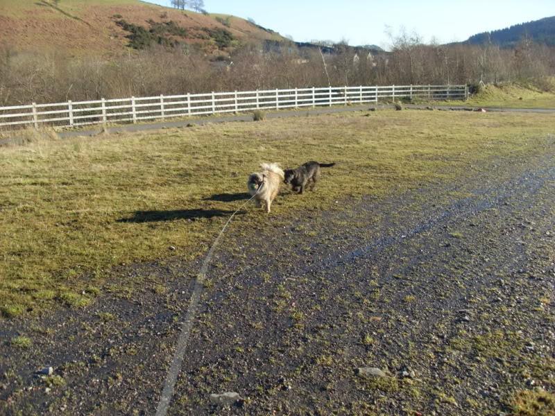 Heston - 2 year old Pug cross Tibetan Terrier Dogs098