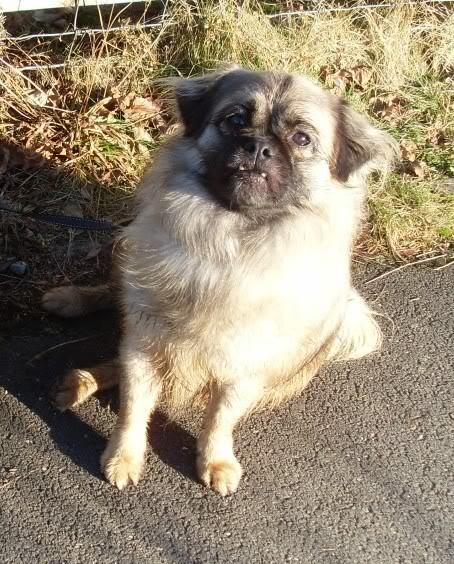 Heston - 2 year old Pug cross Tibetan Terrier Dogs103