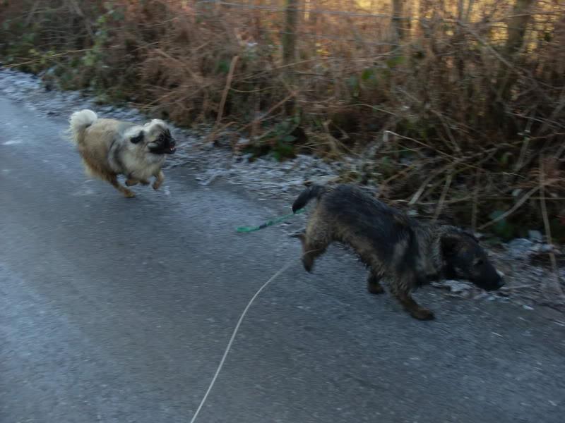 Heston - 2 year old Pug cross Tibetan Terrier Dogs104