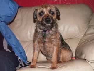 Gemma - 2 year old tiny Border Terrier - Perfect family pet Gemma02