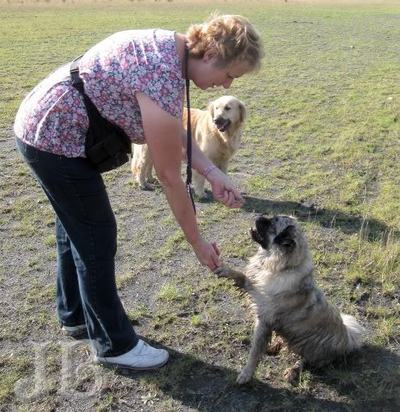 Heston - 2 year old Pug cross Tibetan Terrier Heston2cw
