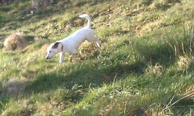 George, 2 year old, Jack Russell Terrier IMAG0475