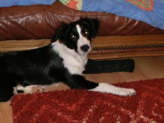 Idris - 5 month old Border Collie male - Very sweet! Idris02