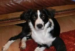 Idris - 5 month old Border Collie male - Very sweet! Idris03