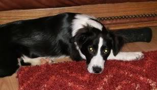 Idris - 5 month old Border Collie male - Very sweet! Idris04