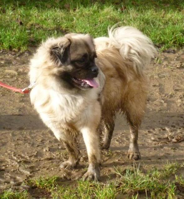 Heston - 2 year old Pug cross Tibetan Terrier P1020153