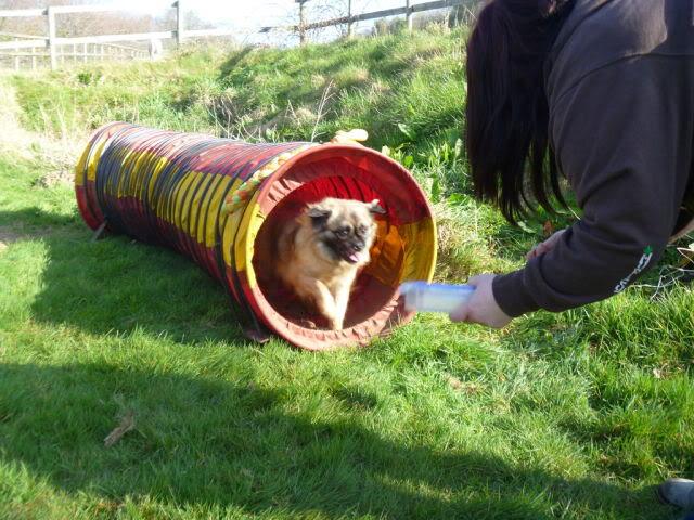 Heston - 2 year old Pug cross Tibetan Terrier P1020890