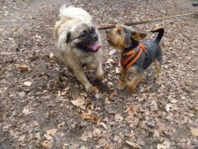 Heston - 2 year old Pug cross Tibetan Terrier P1030010