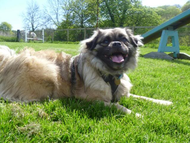 Heston - 2 year old Pug cross Tibetan Terrier P1030238