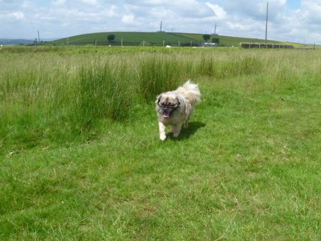 Heston - 2 year old Pug cross Tibetan Terrier P1030550