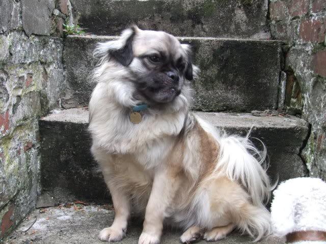 Heston - 2 year old Pug cross Tibetan Terrier Codyandheston007