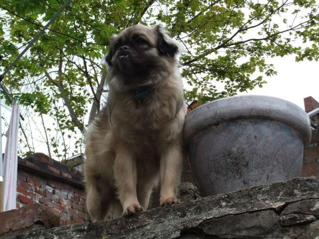 Heston - 2 year old Pug cross Tibetan Terrier Codyandheston013