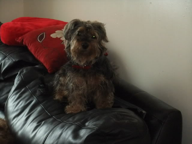 Gucci - 7 year old Yorkshire Terrier girl (Fostered S.Wales) Guccipoppysachaandsadie1-1