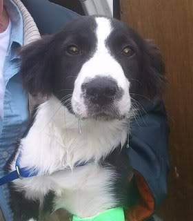 Idris - 5 month old Border Collie male - Very sweet! Idris