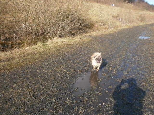 Heston - 2 year old Pug cross Tibetan Terrier Kennel_dogs_25_2_12_007