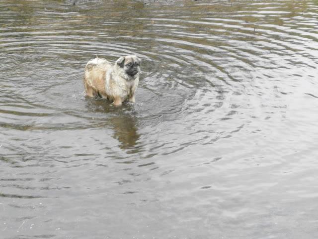 Heston - 2 year old Pug cross Tibetan Terrier Kennel_walks_25_1_12_049