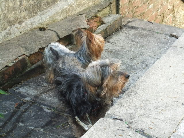 Gucci - 7 year old Yorkshire Terrier girl (Fostered S.Wales) Maymixyorkicavbichon004
