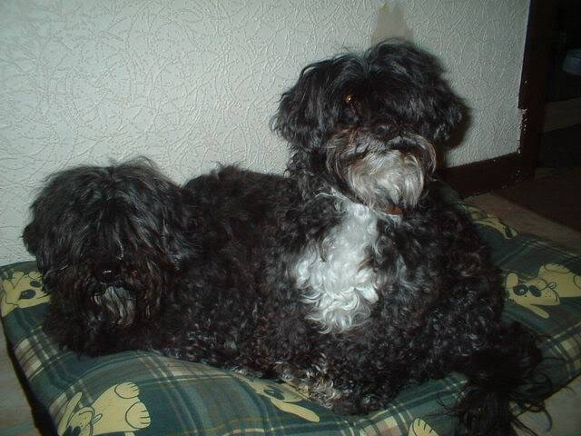 Lily and Lottie - Sweet 8 year old Shih Tzu x Poodle girls 004-1
