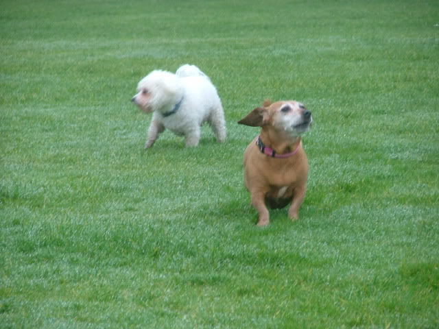 Lucy & Morris,  Dachshund x & Bichon, 10 years old DSCF18341