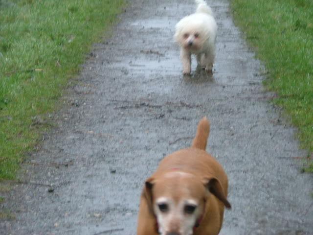 Lucy & Morris,  Dachshund x & Bichon, 10 years old DSCF1846