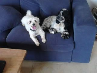 Jack - Beautiful 8 year old Bichon - Great with dogs, cats and kids Jack06