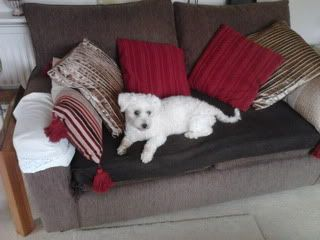 Jack - Beautiful 8 year old Bichon - Great with dogs, cats and kids Jack07