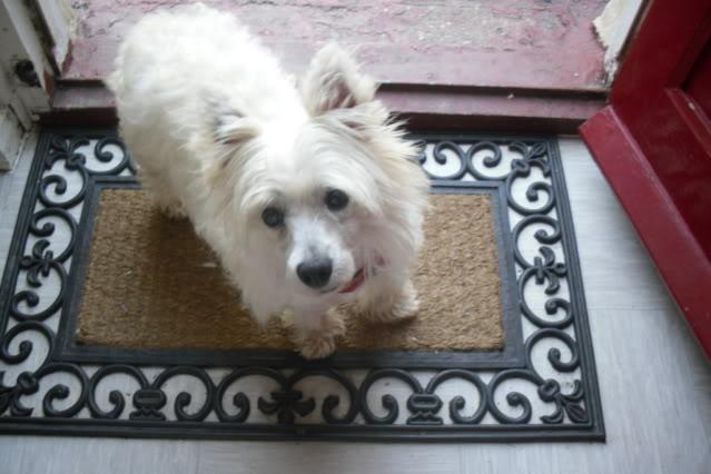 Jade - Pretty 3 year old West Highland Terrier - In Kent Jade