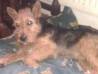 Jake - Lovely 1 year old Lakeland Terrier - Fostered S.Wales Jake02