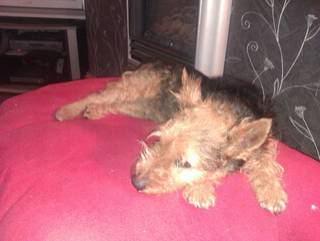 Jake - Lovely 1 year old Lakeland Terrier - Fostered S.Wales Jake03