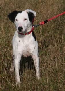 Jezz - 18 month old Terrier cross - Dog + child friendly Jezz05