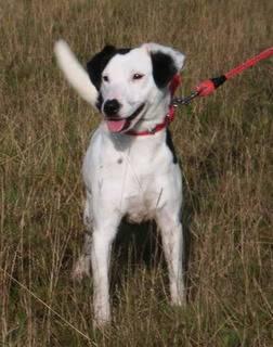 Jezz - 18 month old Terrier cross - Dog + child friendly Jezz08