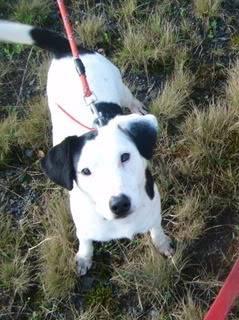 Jezz - 18 month old Terrier cross - Dog + child friendly Jezz09