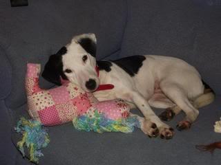 Jezz - 18 month old Terrier cross - Dog + child friendly Jezz12