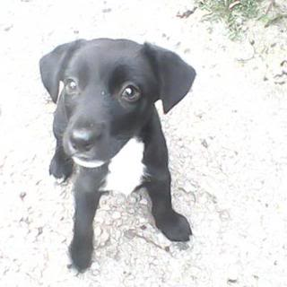 Lady - 10 week old Labrador X Collie - Fostered S.Wales Lady01-1