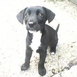 Lady - 10 week old Labrador X Collie - Fostered S.Wales Lady02