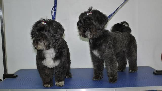 Lily and Lottie - Sweet 8 year old Shih Tzu x Poodle girls P1090235