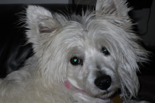 Jade - Pretty 3 year old West Highland Terrier - In Kent SDC10667